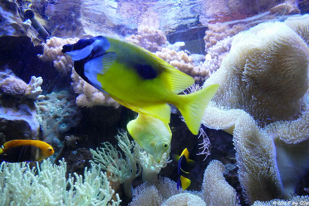 Orangerücken.-Zwergkaiser, Einfleckiges Fuchsgesicht,Gelber Segelflossen-Doktorfisch,Blaugelber Herzogfisch