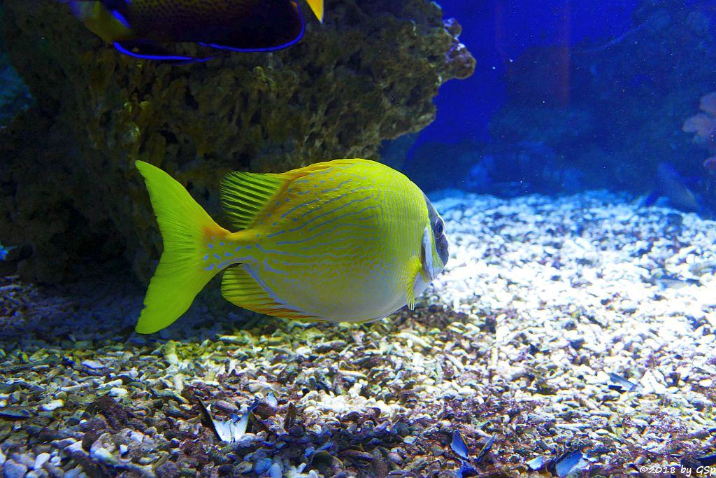Maskenkaninchenfisch