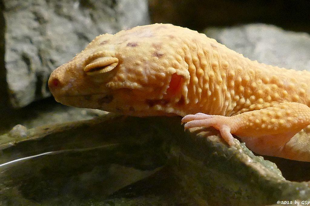 Leopardgecko (Pakistanischer Fettschwanzgecko)