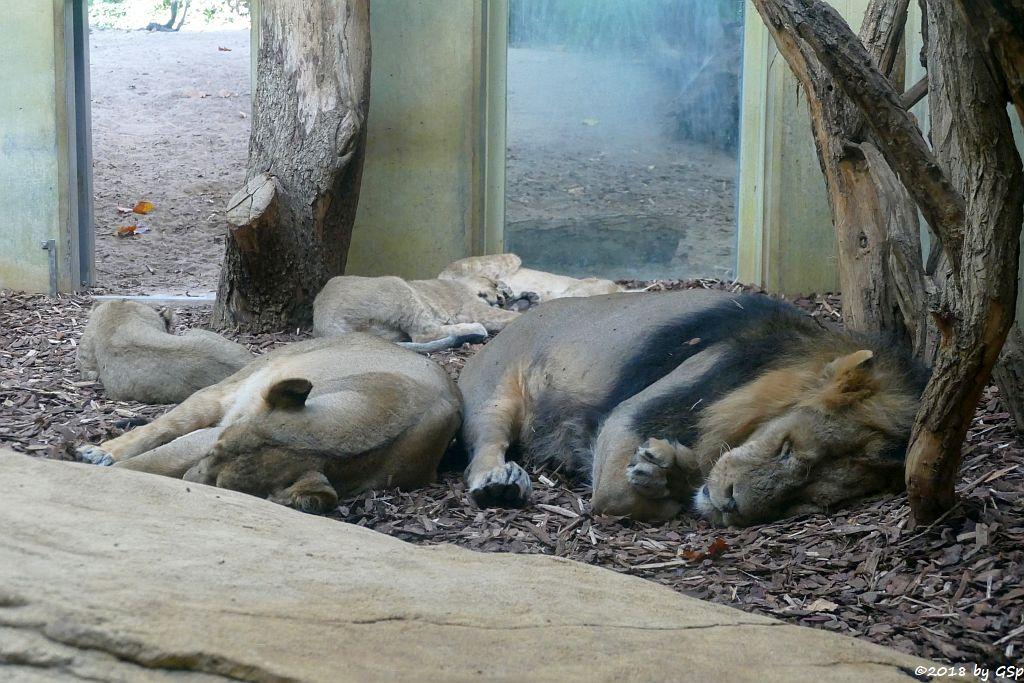 Asiatischer (Indischer) Löwe ZARINA, KUMAR, MIRA, YARO und KIRON