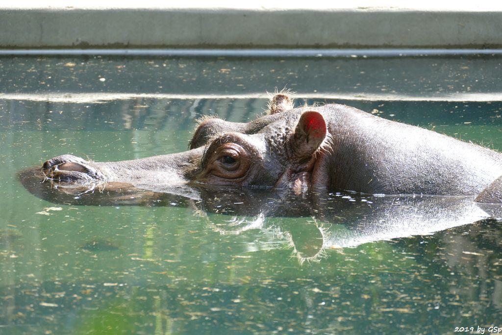 Flusspferd (Nilpferd) PETRA