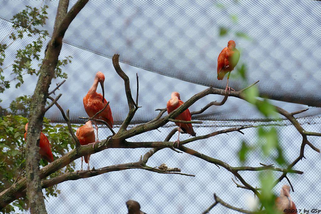 Roter Sichler (Scharlachsichler, Toribis)
