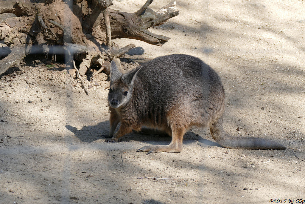 Tammarwallaby