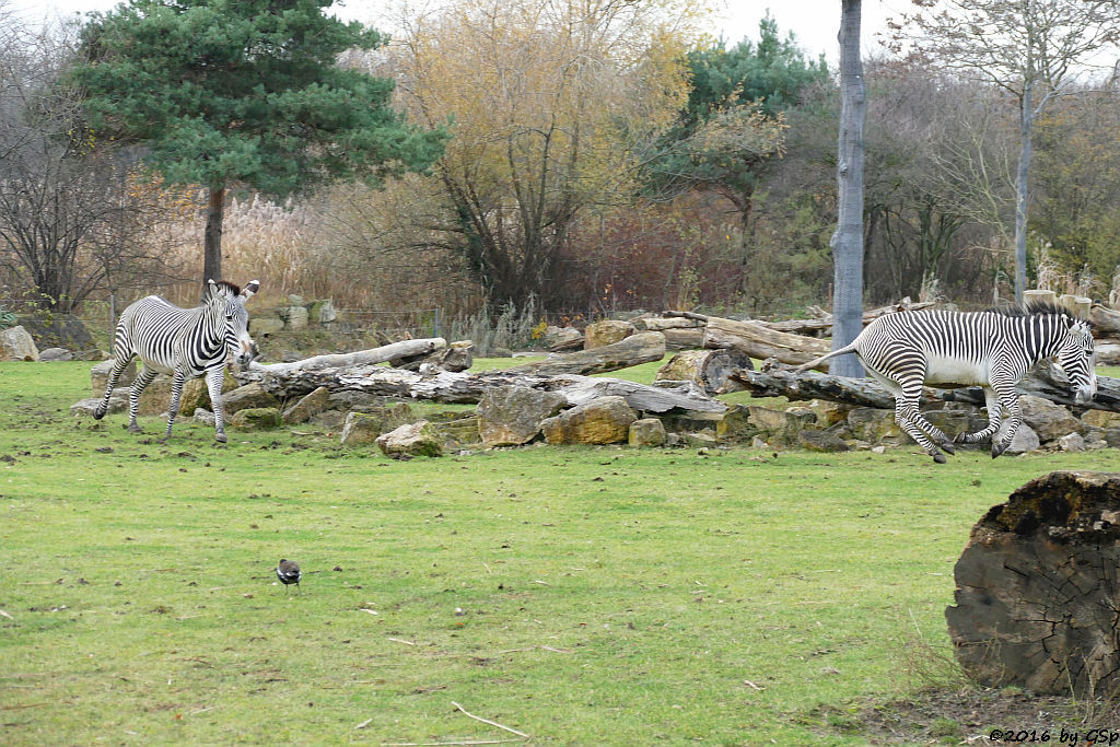 Grévy-Zebra