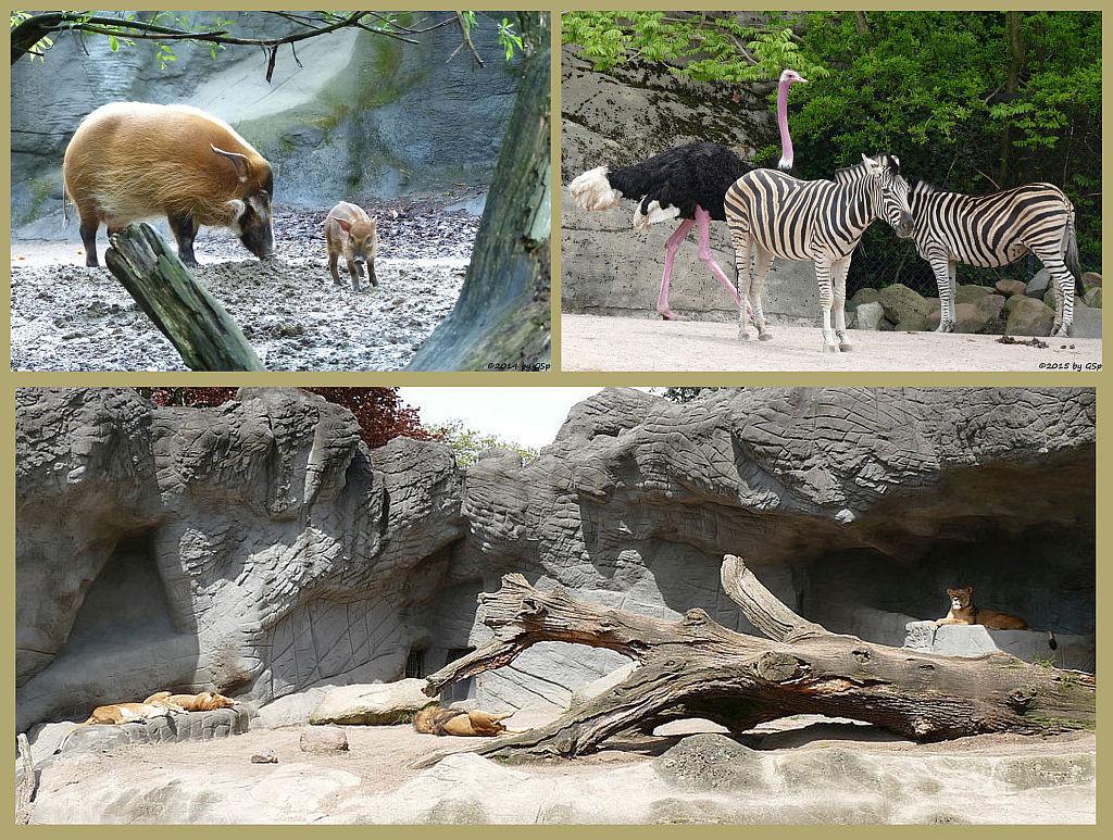 Afrikanische Steppe und Löwenschlucht -50 Fotos