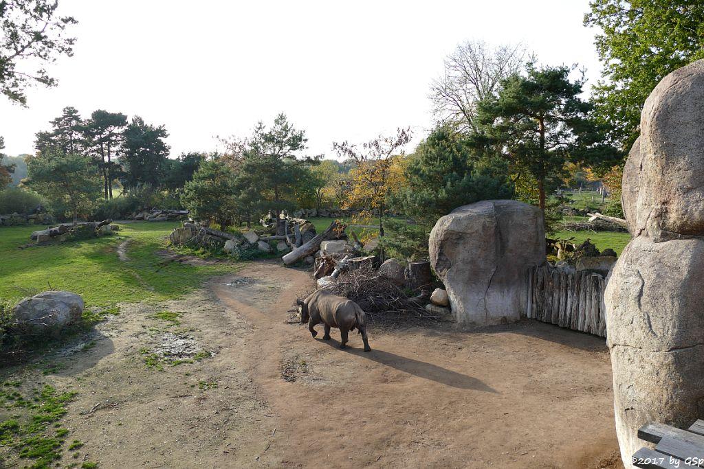 Spitzmaulnashorn (Spitzlippennashorn, Doppelnashorn)