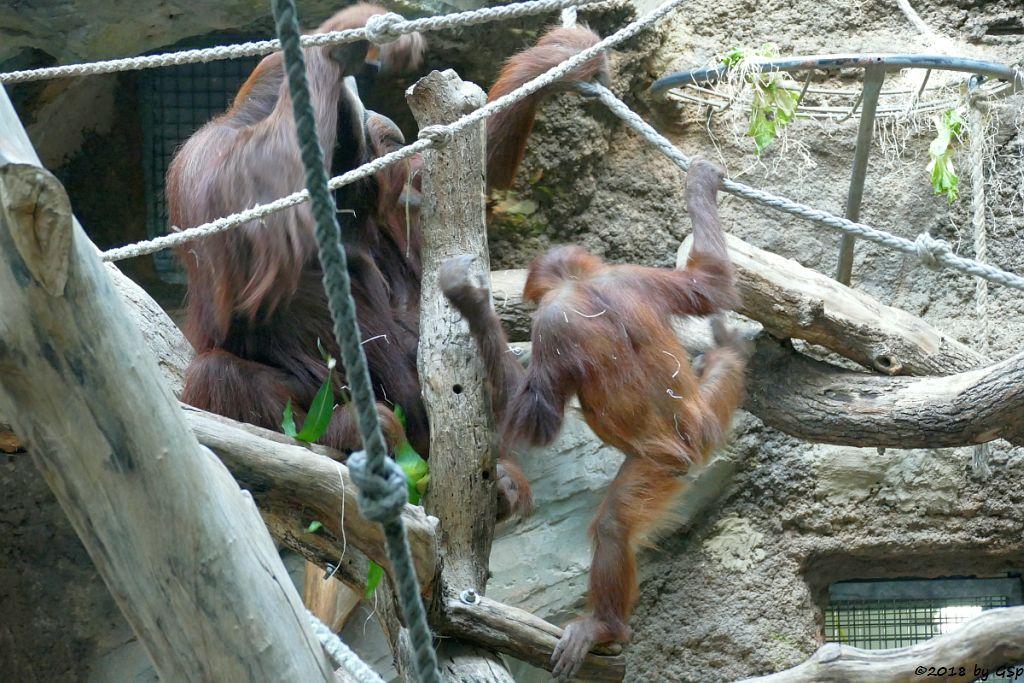 Sumatra-Orang-Utan KEMBALI und SAYANG