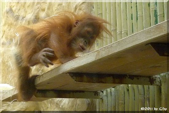 Sumatra-Orang-Utan DURAN, geb. am 30.01.10