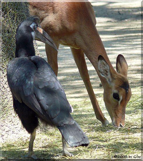 Nördlicher Hornrabe u. Impala