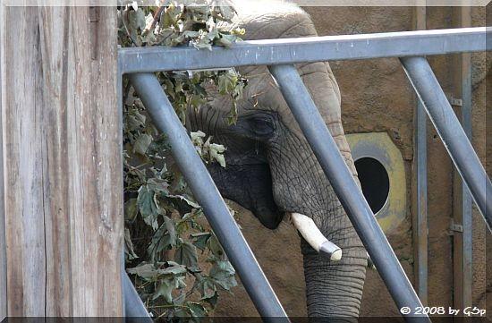 Afrikanischer Elefant DRUMBO