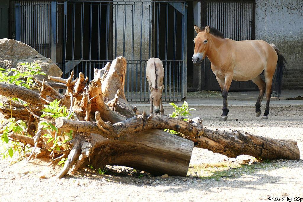 Przewalskipferd