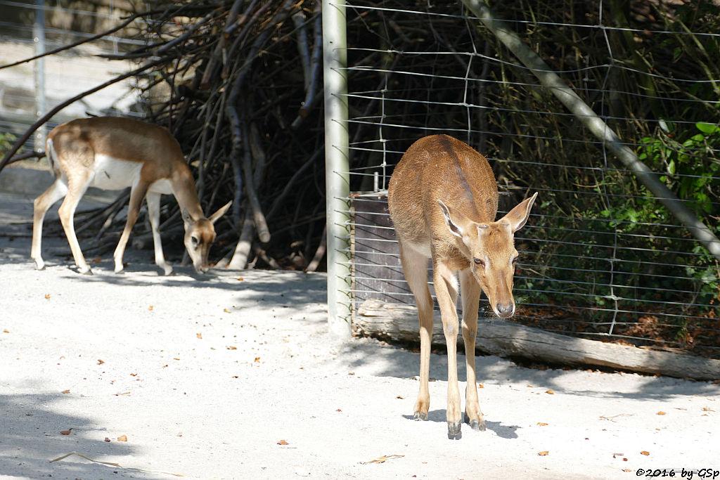 Hirschziegenantilope, Burma-Leierhirsch