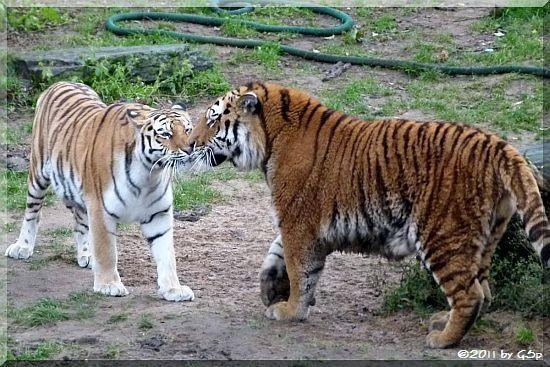 10180 P1580851 Sibirische Tiger HANYA und ALTAI