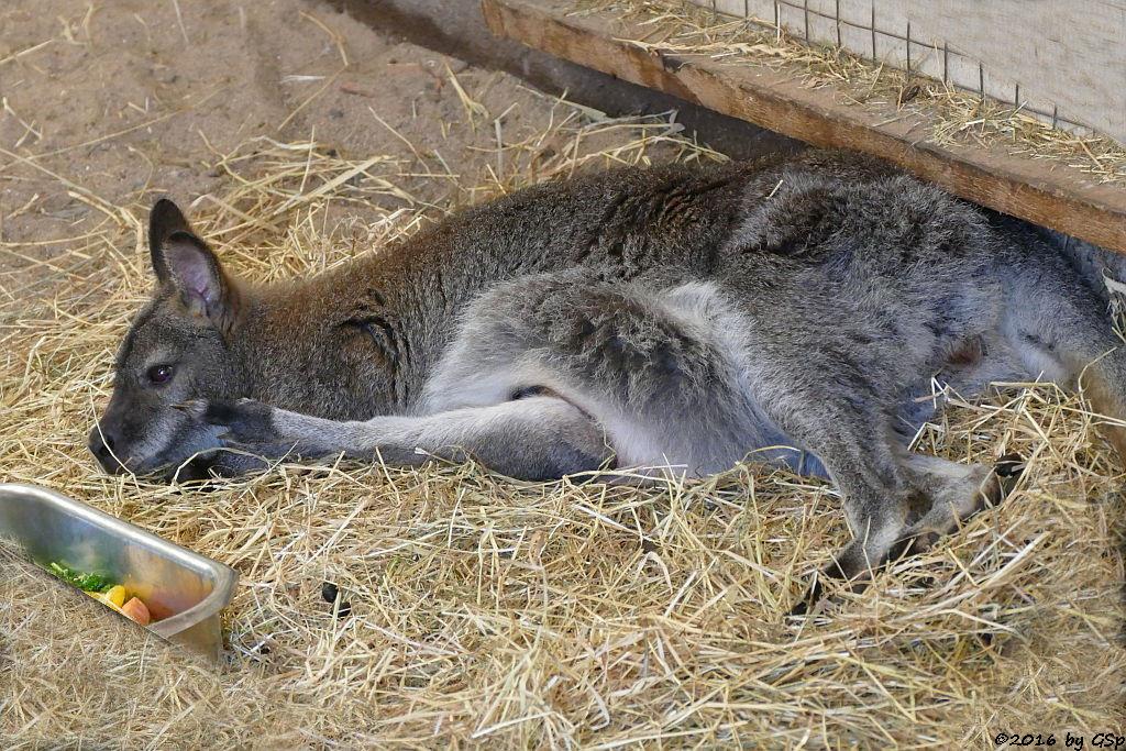 Bennettkänguru (Rotnackenwallaby)Bennettkänguru (Rotnackenwallaby)