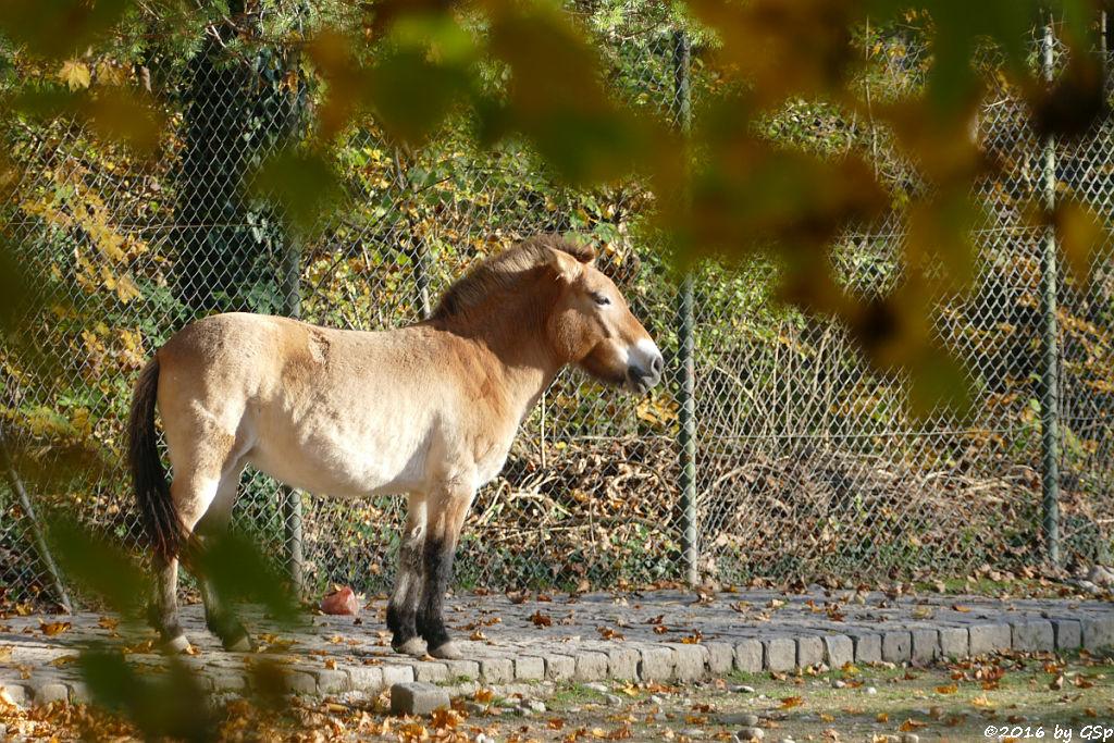 Trampeltier (Zweihöckriges Kamel), Przewalski-Pferd (Przewalski-Urwildpferd, Asiatisches Wildpferd)