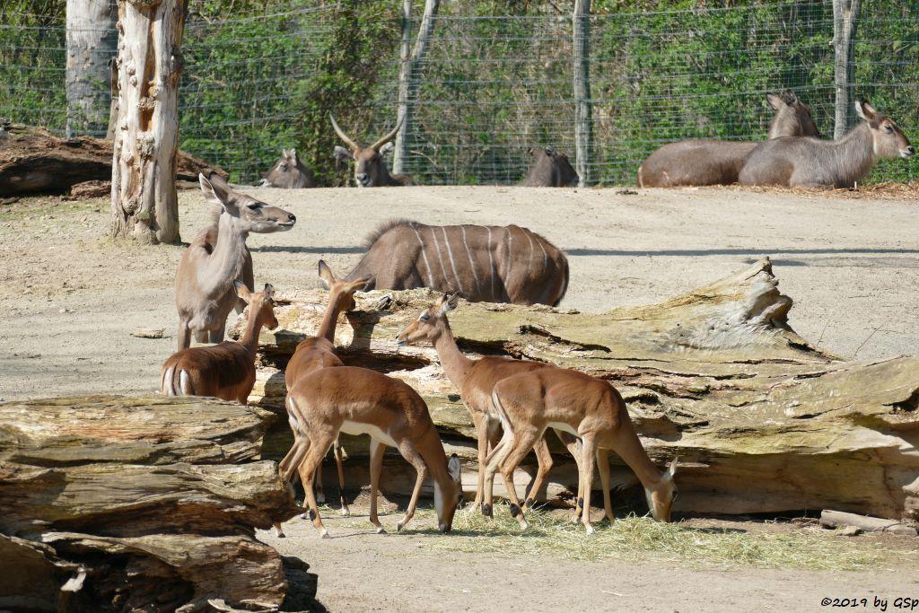 Gewöhnliche Impala (Schwarzfersenantilope), Großer Kudu, Ellipsenwasserbock