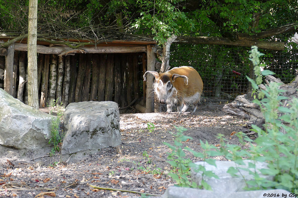 Pinselohrschwein