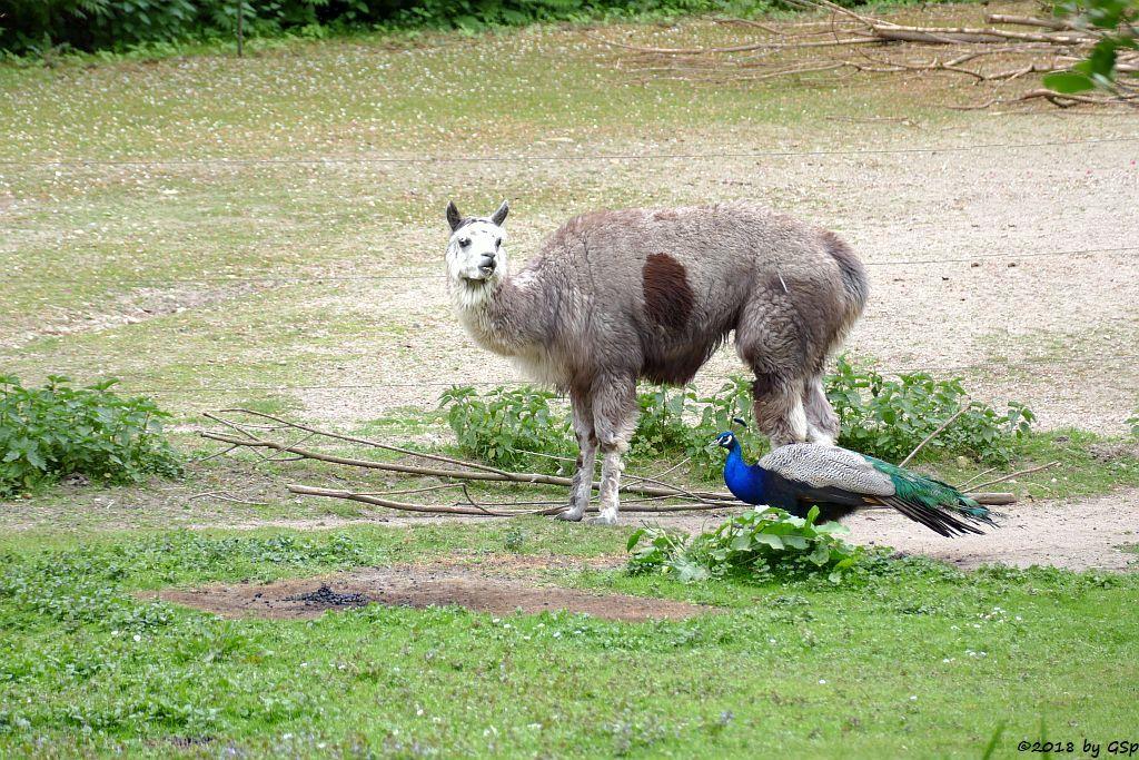Alpaka, Blauer Pfau