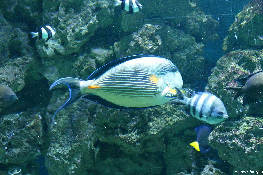 Rotmeer-Doktorfisch (Arabischer Blaustreifen-Doktorfisch), Zebrariffbarsch (Gestreifter Riffbarsch, Gestreifter Sergeant)