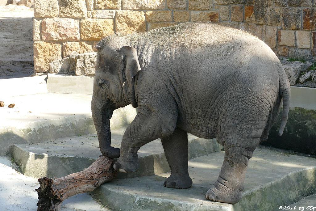 Asiatischer Elefant ASHA, geb.14.02.13