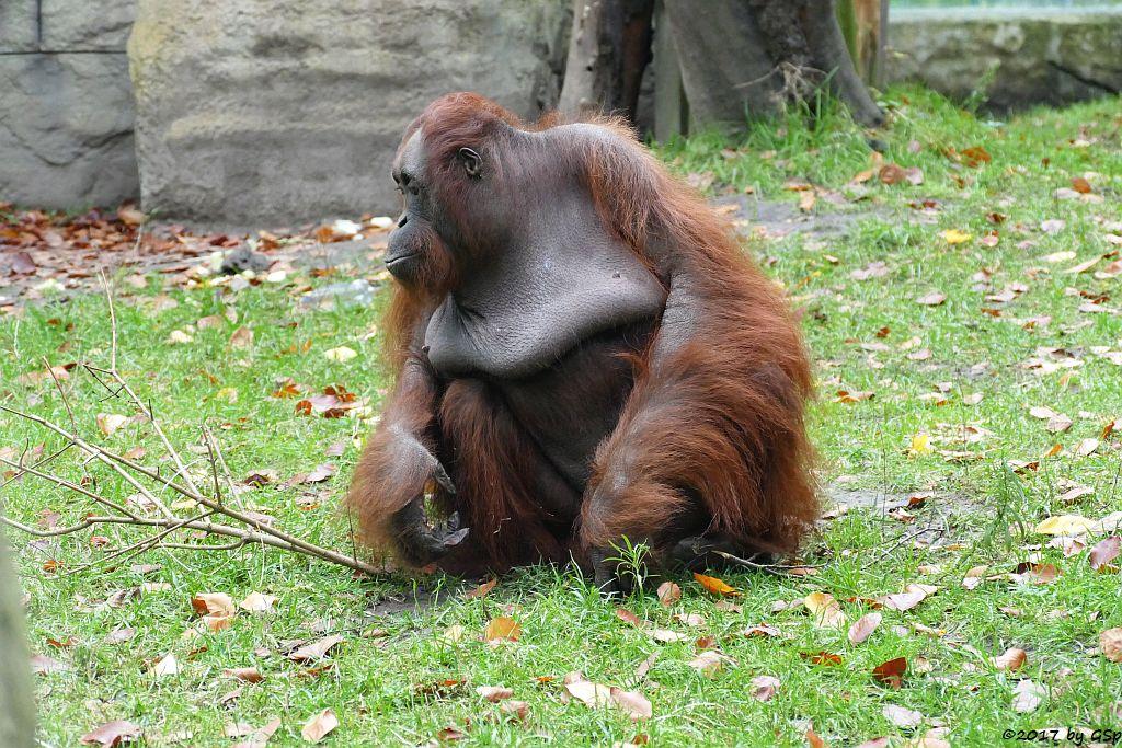 Borneo-Orang-Utan ASTRID