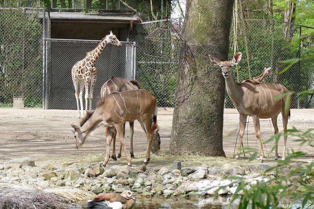Rothschildgiraffe, Großer Kudu