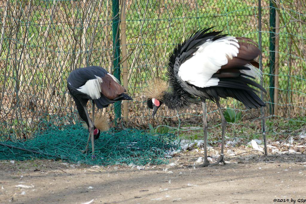 Westafrikanischer Kronenkranich (Schwarzhals-Pfauenkranich)