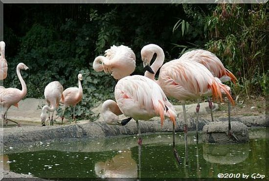 Chileflamingo