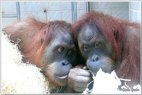Sumatra-Orang-Utan - 35 Fotos