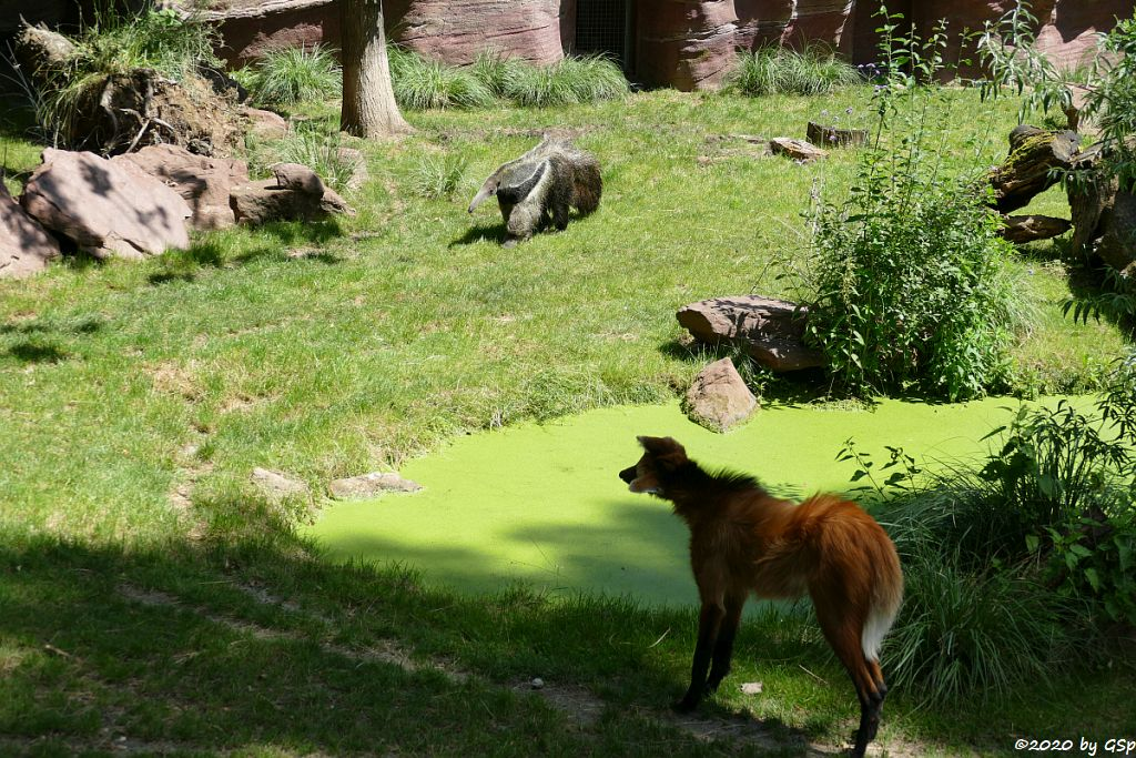 Mähnenwolf, Großer Ameisenbär