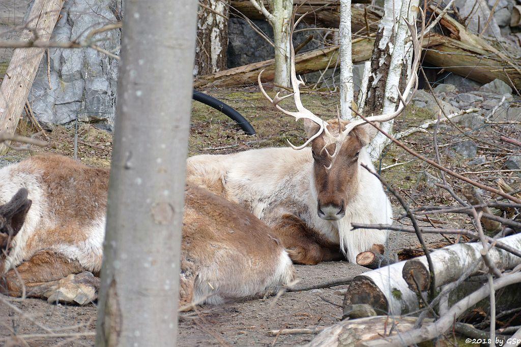 Östliches Waldkaribu (Kanadisches Waldrentier)