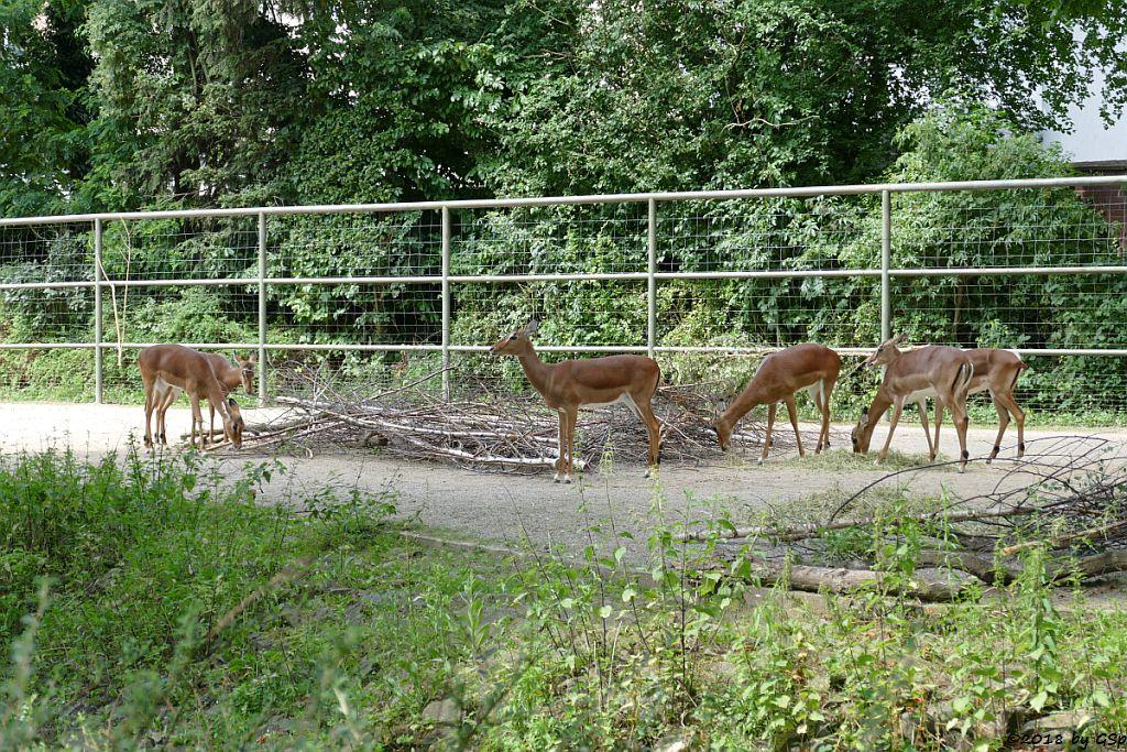 Gewöhnliche Impala (Schwarzfersen-Antilope)