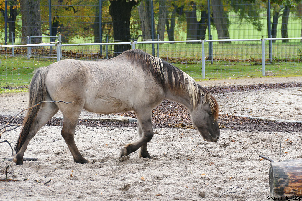 Dülmener Pferd