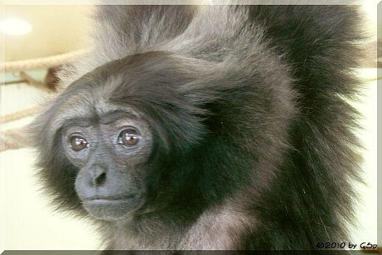 Grauer Gibbon (Borneo-Gibbon)