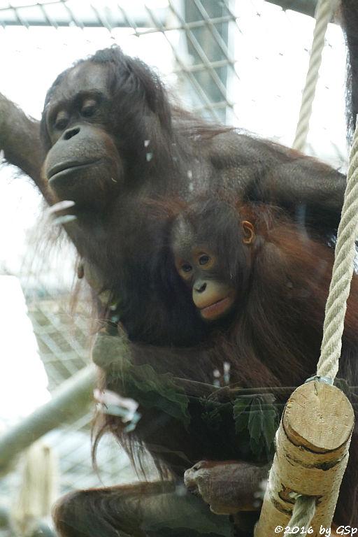 Borneo-Orang-Utan CORI mit CIRI