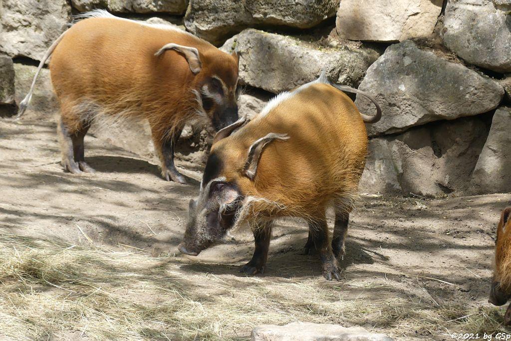 Pinselohrschwein (Rotes Flussschwein)