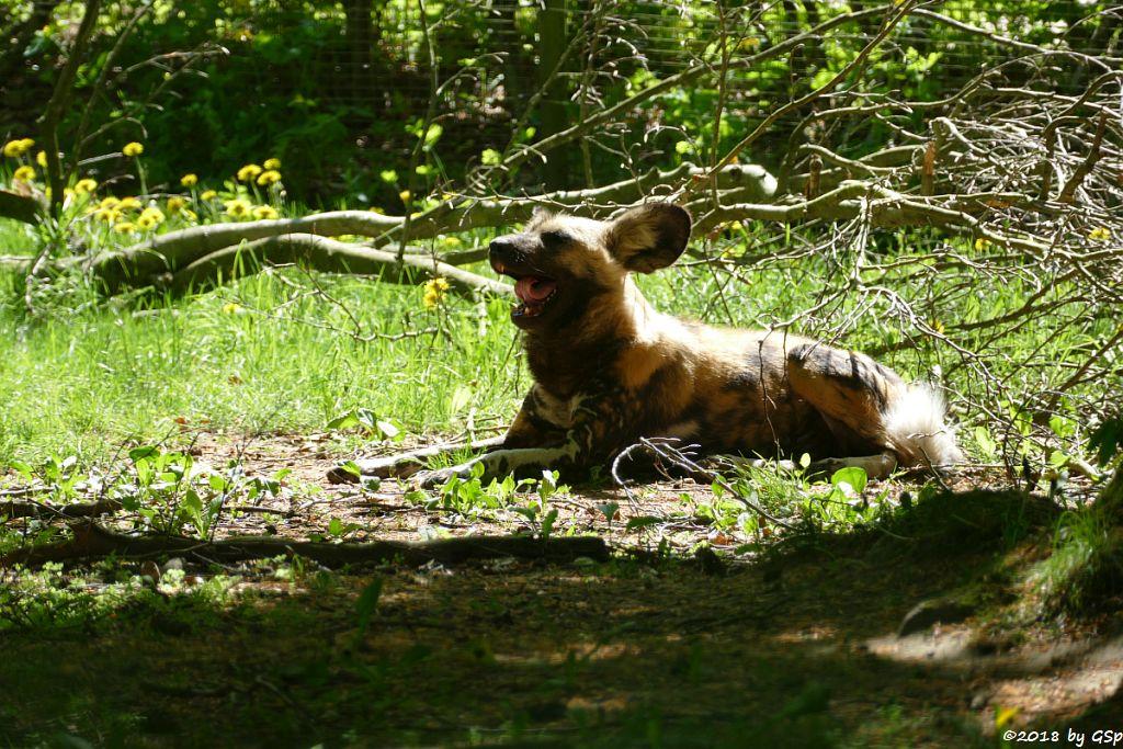 Afrikanischer Wildhund (Hyänenhund, Picassohund)