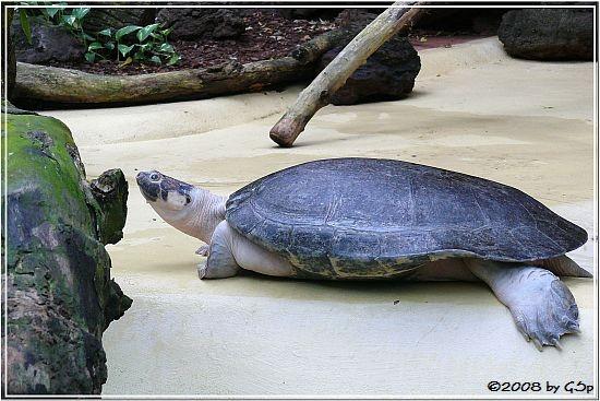 Arrau-Schildkröte