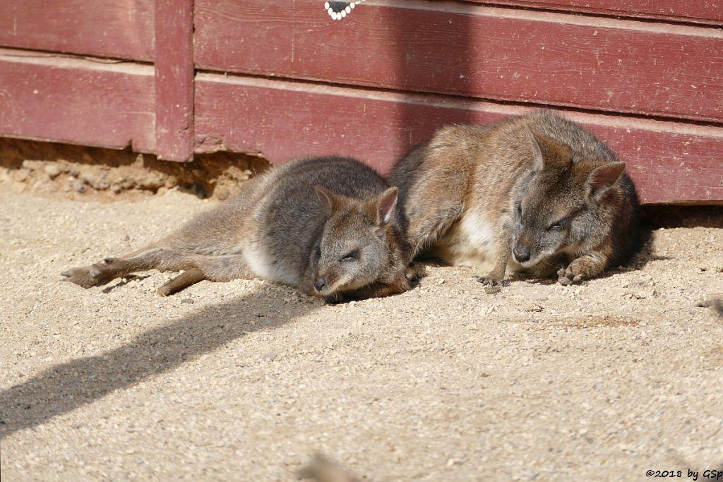 Parmakänguru (Parmawallaby)