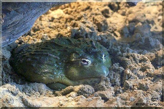 Afrikanischer Grabfrosch
