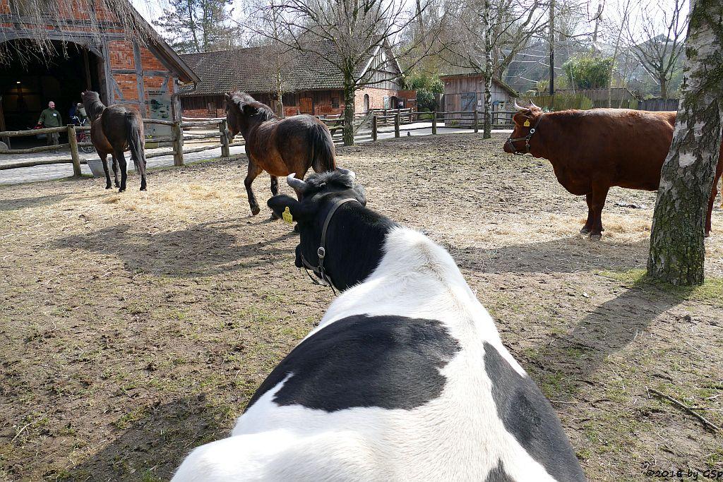 Altdeutsches Schwarzbuntes Niederungsrind, Exmoor-Pony