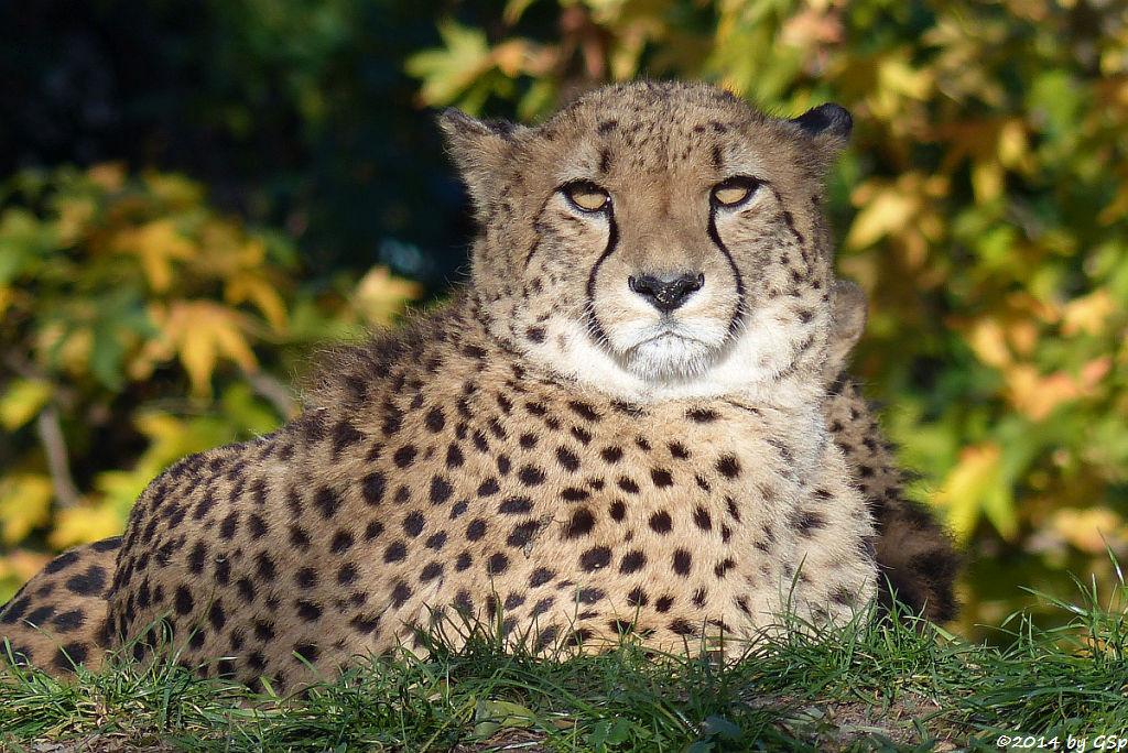 Südafrikianischer Gepard
