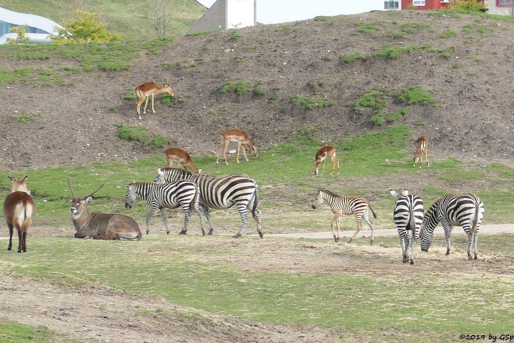 Defassa-Wasserbock (Roter Wasserbock), Böhm-Steppenzebra (Grant-Zebra), Gewöhnliche Impala (Schwarzfersenantilope