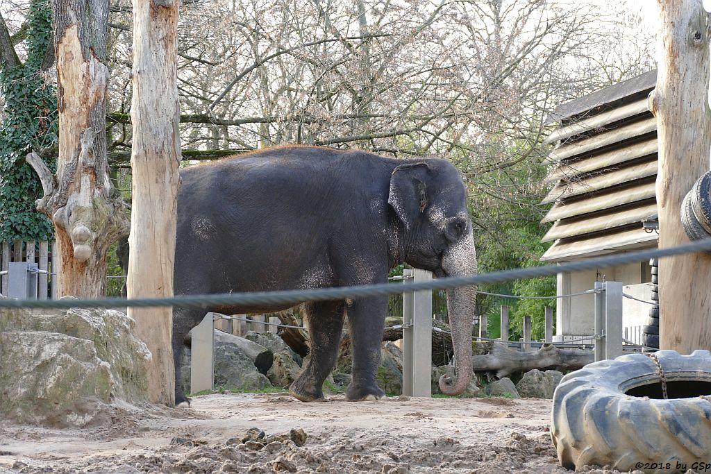Asiatischer Elefant ZELLA