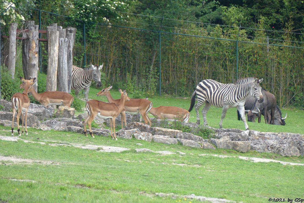 Impala (Schwarzfersenantilope), Böhm-Steppenzebra (Grant-Zebra), Südliches Streifengnu (Blaues Gnu)