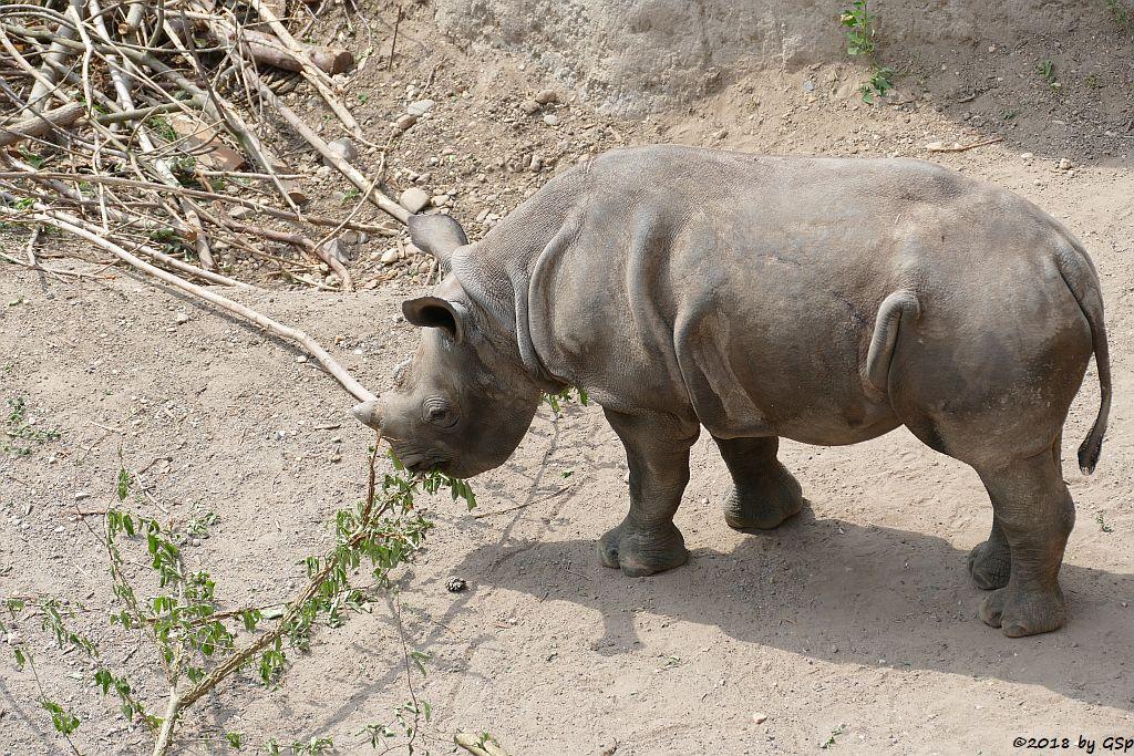 Spitzmaulnashorn (Spitzlippennashorn, Doppelnashorn) SUDAN, geb. am 5.12.17