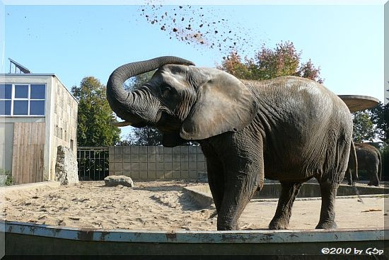 Afrikanischer Elefant MWANA