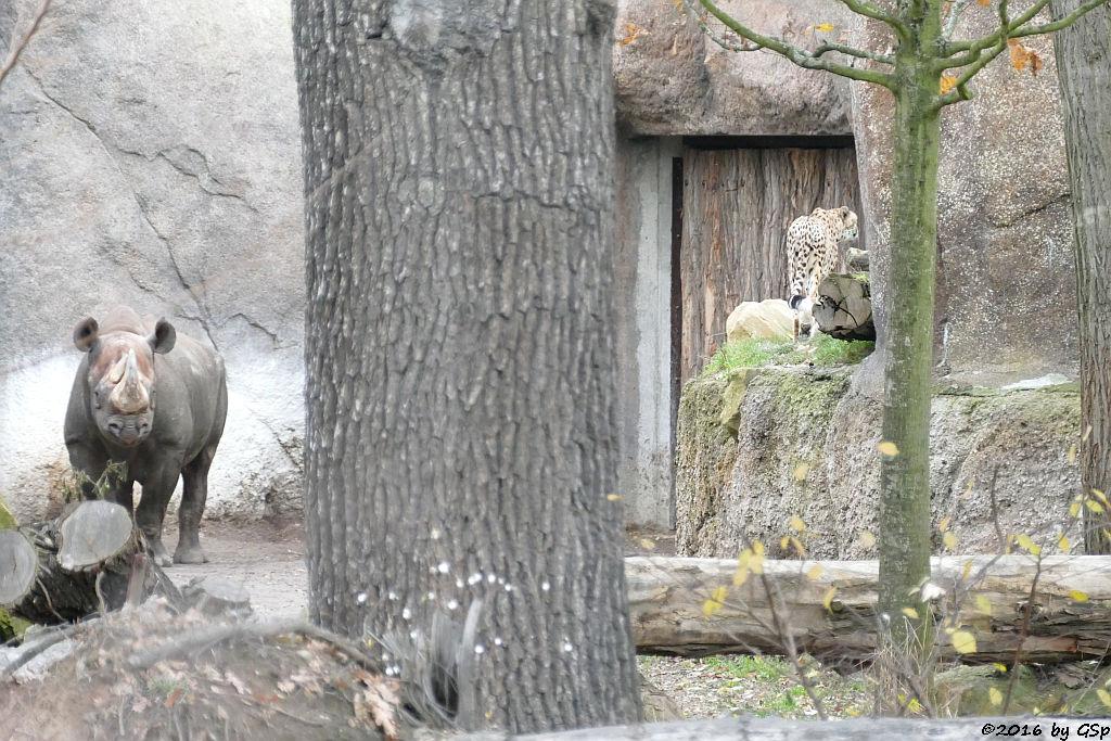 Ostafrikanisches Spitzmaulnashorn (Östliches Spitzmaulnashorn), Südafrikanischer Gepard