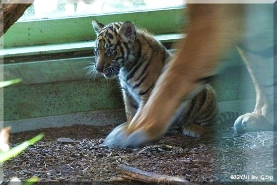 Sumatra-Tiger ASIM am 07.07.11