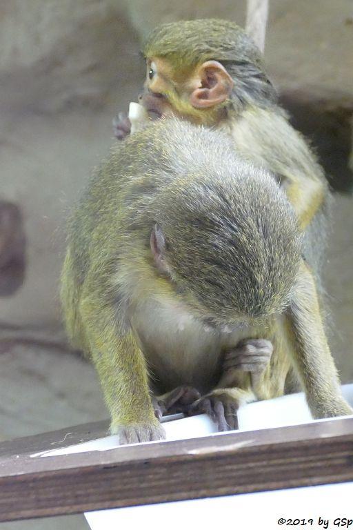Nördliche Zwergmeerkatze (Gabun-Zwergmeerkatze)
